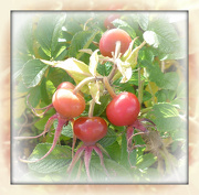 5th Oct 2012 - rose hips