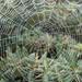 Web by daffodill