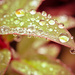 Rain on a Leaf by humphreyhippo