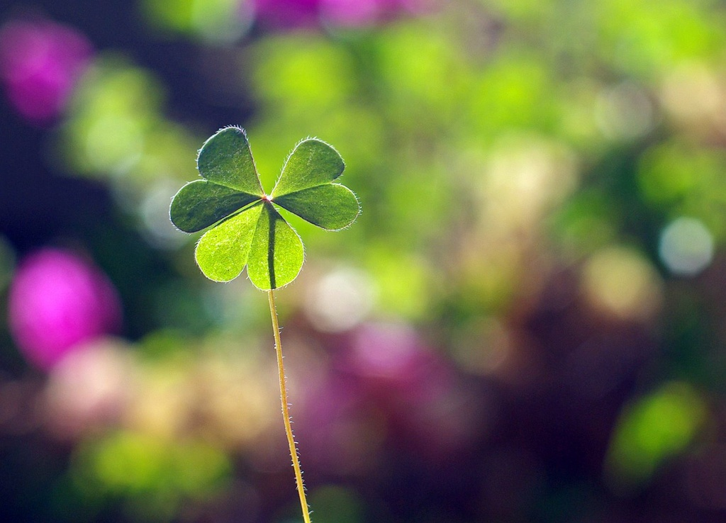 (Day 238) - Backlit Clover by cjphoto