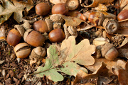 11th Oct 2012 - Mighty Oaks From Little Acorns Grow