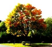 12th Oct 2012 - Autumn Tree - Orton Tree