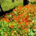 Wild Nasturtiums by salza