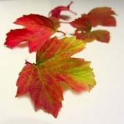 15th Oct 2012 - Turning Leaves