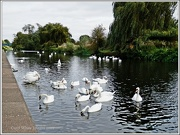 16th Oct 2012 - Swans Galore