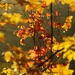 Vine Maple by vickisfotos