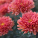"""Fall """"mums"""" by rhoing"""