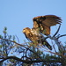 Immature Bald Eagle, Again by rob257