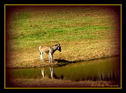 4th Oct 2012 - Donkey reflections