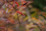 21st Oct 2012 - autumn leaf drop