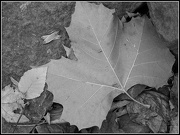 21st Oct 2012 - Maple Leaf