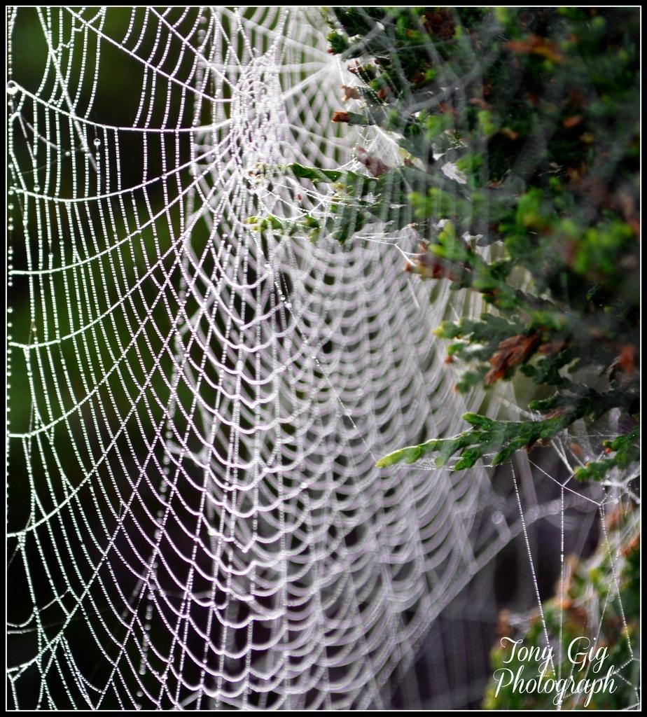 Webs by tonygig
