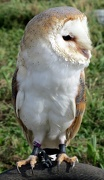 23rd Oct 2012 - Tyto Alba