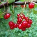 365-Red currants DSC04504 by annelis