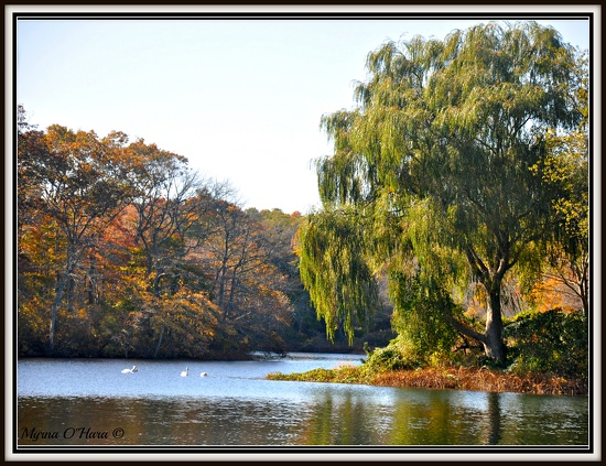 Weeping willow on the pond. by sailingmusic