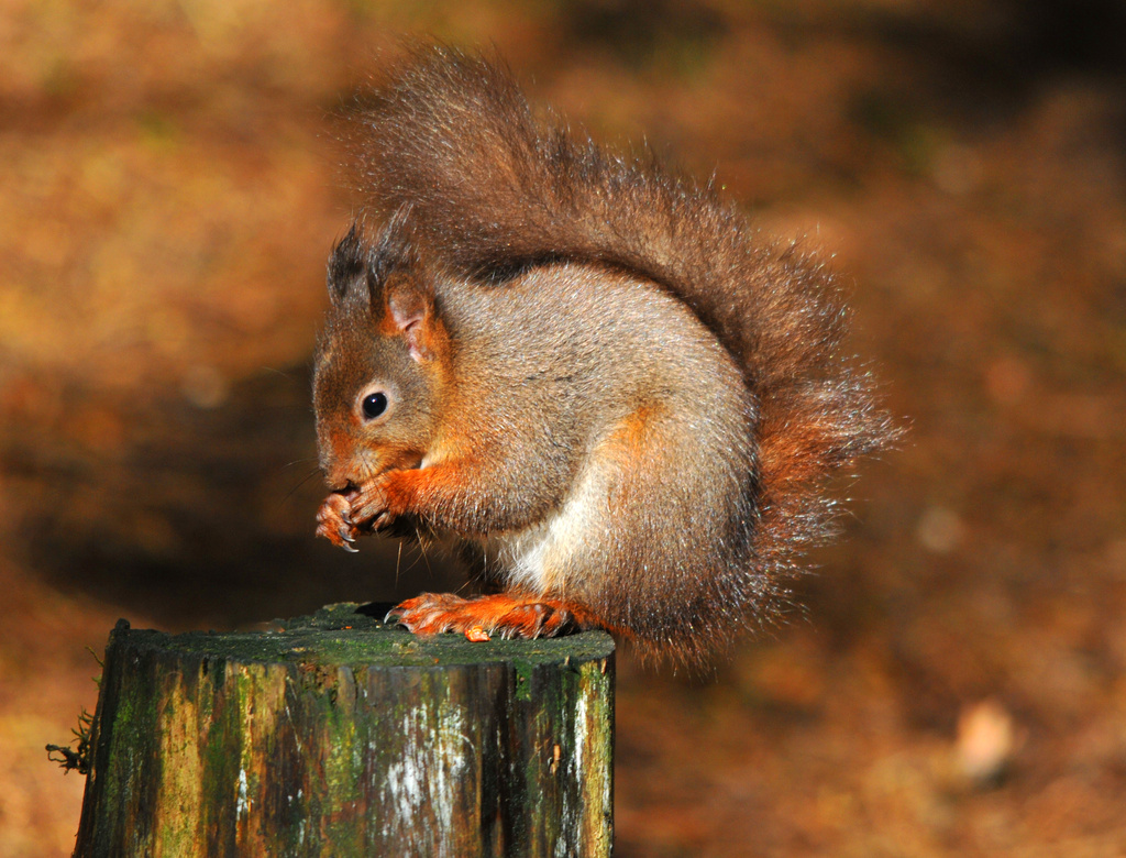 Red Squirrel ~ 1 by seanoneill