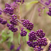 Beautyberry by falcon11