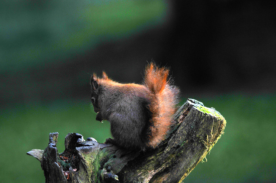 Red Squirrel ~5 by seanoneill
