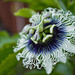 passion flower by corymbia