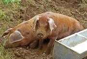 21st Jun 2012 - pigs again