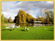 2nd Nov 2012 - Hungry swans!