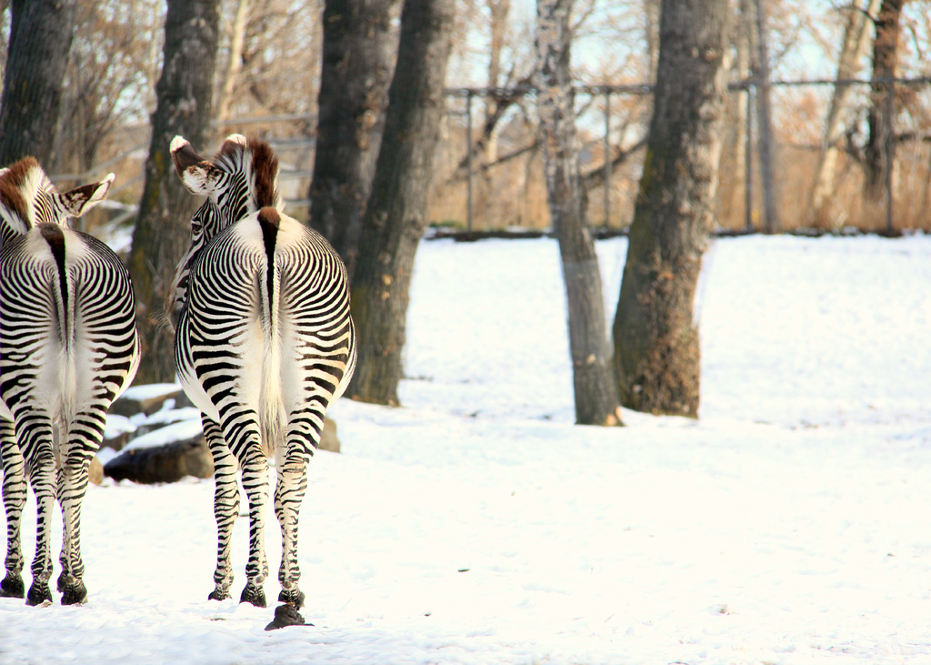 Zebra Bums in Snow by kph129