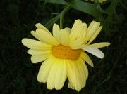 5th Nov 2012 - Double daisy