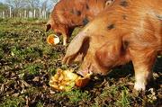 7th Nov 2012 - pigs like pumpkins