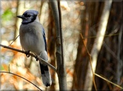 9th Nov 2012 - Blue Jay
