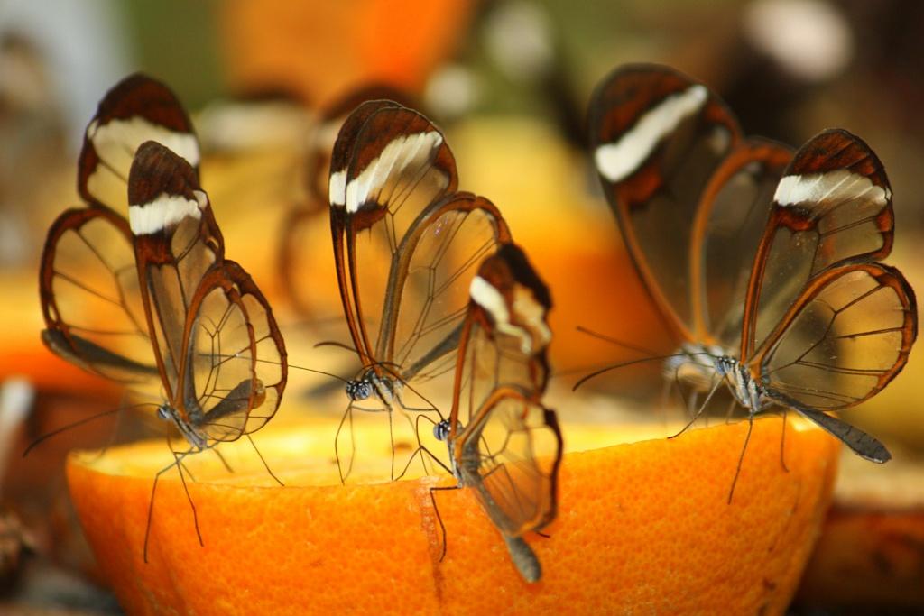 Glasswing butterflies by eleanor