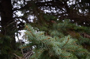 7th Nov 2012 - Blue Spruce Trees - Tag Challenge blue & life
