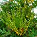Mahonia aquifolium by gijsje