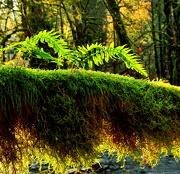 11th Nov 2012 - Mossy Branch