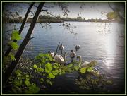 11th Nov 2012 - Swans at Paxton Pits