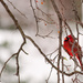 Mediocre Cardinal Shot by egad