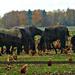 animal farm by gijsje