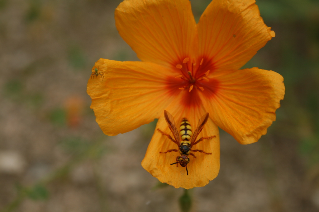 Bee On A Flower by kerristephens