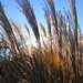 For Amber Waves of Grain by alophoto