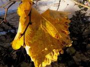 14th Nov 2012 - A vine leaf.