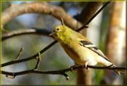 14th Nov 2012 - Goldfinch