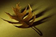 14th Nov 2012 - Oak Leaf