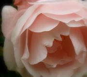 15th Nov 2012 - Roses in November....