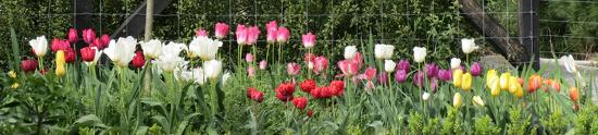 My Tulip Garden by kiwiflora