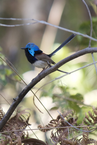 Fairy Wren by sugarmuser