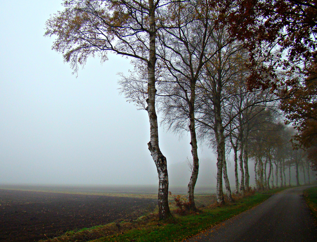 misty birches by gijsje