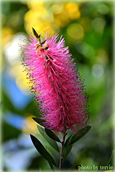 Bottlebrush by teodw