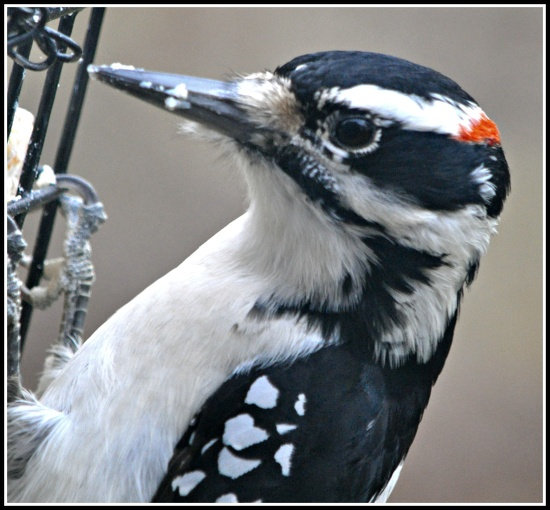Hairy Woodpecker. by sailingmusic