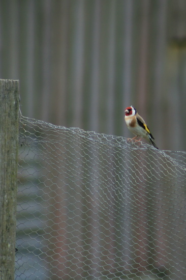 European Goldfinch by wenbow