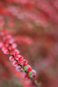17th Nov 2012 - cotoneaster