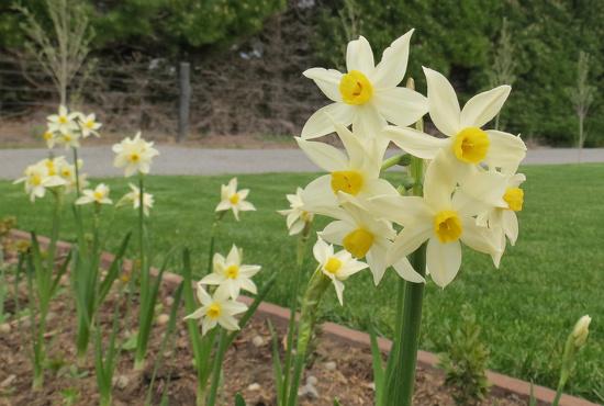 Cream Daffodil  by kiwiflora